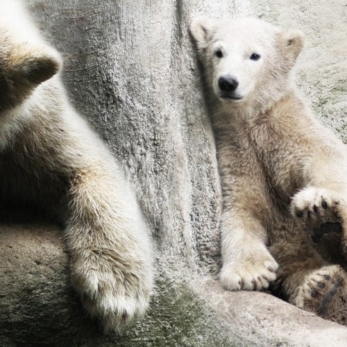 ontwerp ijsberen detail