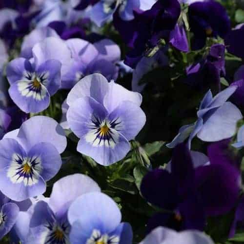 viooltjes 21